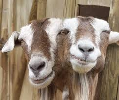 2headed goat